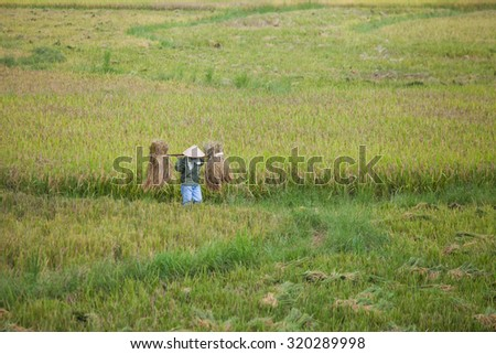 HOA BINH VIETNAM September 25 2015 unidentified farmer are harvesting rice and carries rice from the farm home in Hoa Binh, Vietnam. Hoa Binh is a biggest rice stock in north Vietnam