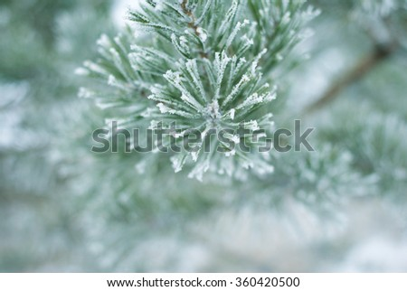 hoar frost covered pine branches, winter nature background