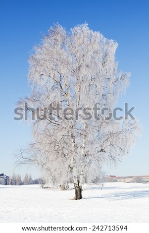 Hoarfrost covered birch tree in winter.