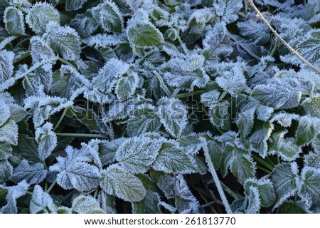 hoarfrost on green plant - stock photo