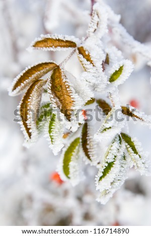 Hoarfrost on leaves - stock photo