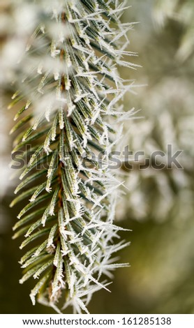 hoarfrost on silver pine branch