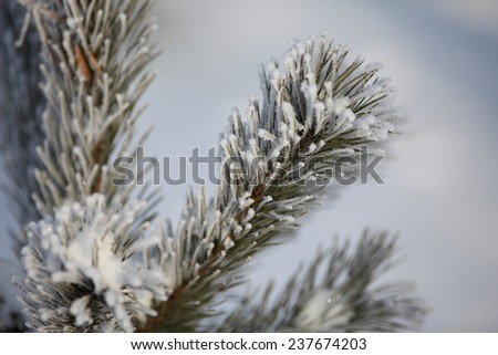Hoarfrost on the fluffy branch of pine tree.