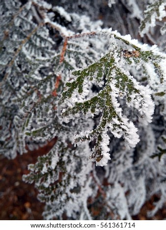 Hoarfrost on the leaves of an evergreen tree