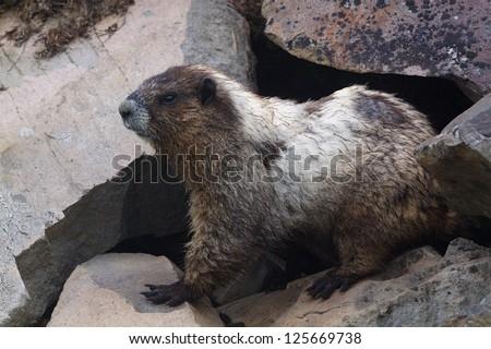 Hoary Marmot along hiking trail at Glacier National Park, Montana Rocky Mountain wildlife photography - stock photo