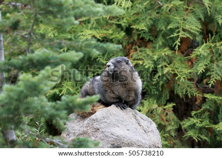 Hoary Marmot  at Mount Rainier National Park Washington