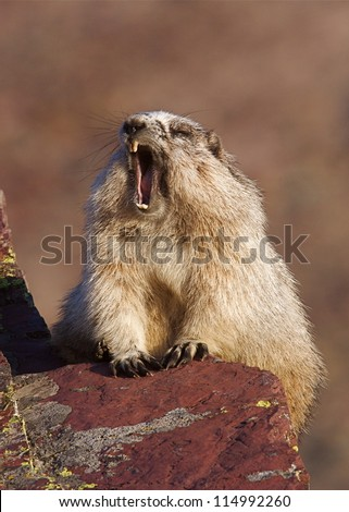 Hoary Marmot yawning wide open mouth, along hiking trail in Glacier National Park - stock photo