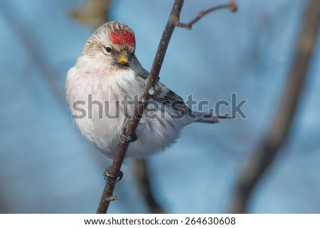Hoary Redpoll perched on a branch.