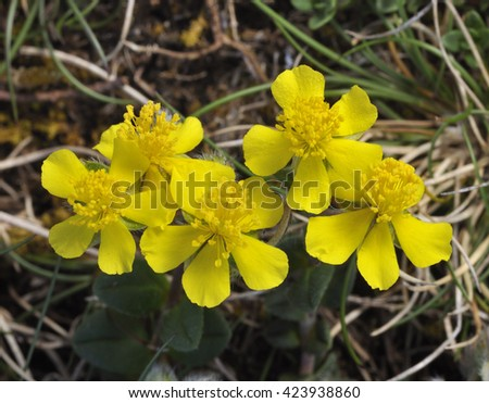 Hoary Rock-rose - Helianthemum canum, growing on The Burren - stock photo