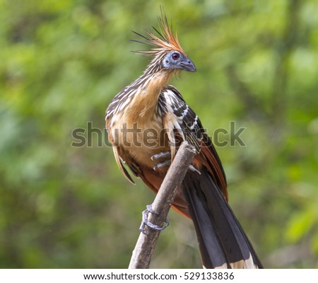 the feeding habitat and migration of the tropical bird hoatzin opisthocomus hoazin The bones, a humerus, scapula and coracoid, closely resemble those of the extant hoatzin, opisthocomus hoazin the very similar osteology for full functionality of researchgate it is necessary.