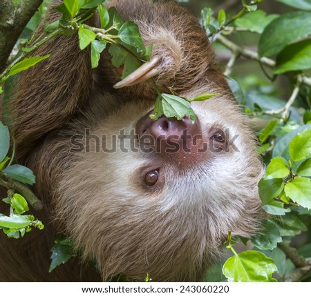 Hoffmann's two-toed sloth (Choloepus hoffmanni) eating tree leaves in rainforest canopy, Limon, Costa Rica. - stock photo