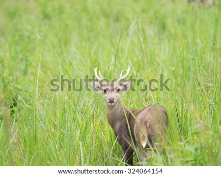 hog deer in open field,wildlife - stock photo
