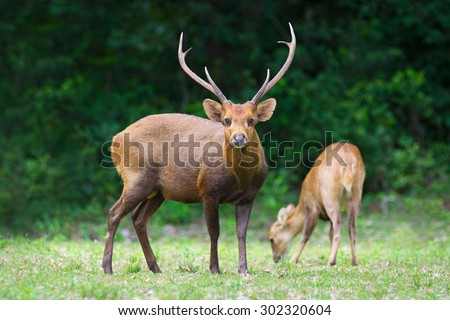 Hog deer on field, Phukhieo Wildlife Sanctuary, Chaiyaphum province. Thailand - stock photo