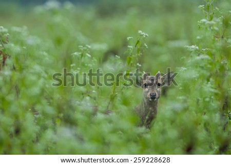 Hog deers in the forest of Thailand - stock photo