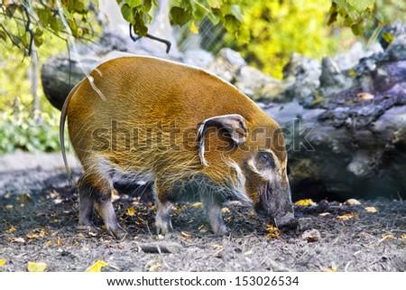 Hog (Red river), Potamochoerus porcus  - stock photo