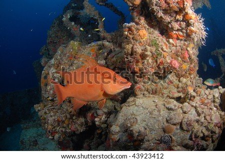 Hogfish on the Spiegel Grove - stock photo