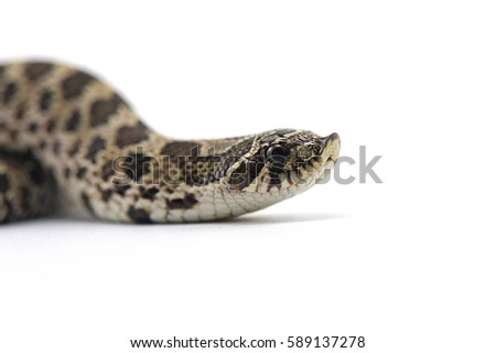 hognose snake isolated on white background