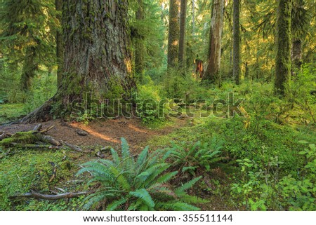 Hoh Rainforest, Olympic National Park, Washington state, USA. - stock photo