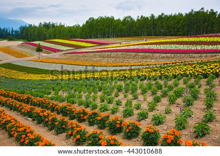 Hokkaido, Japan - 6 Jul 2014: Rainbow like colorful flower farm at Shikisai Hill in summer