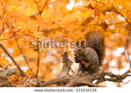 Hokkaido Squirrel eating a walnut in Autumn Forest. - stock photo