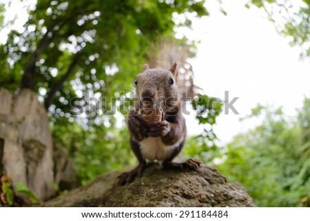 Hokkaido Squirrel eating a walnut in forest, by fish eye lens. - stock photo