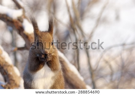 Hokkaido Squirrel in Winter Forest. - stock photo