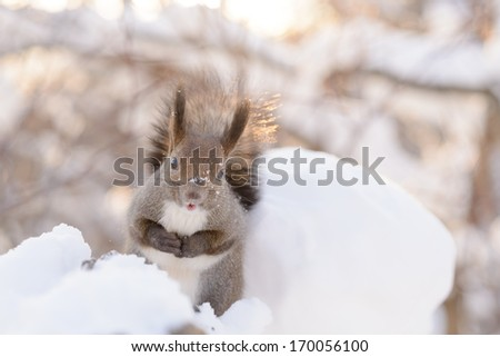 Hokkaido Squirrel in Winter mountain