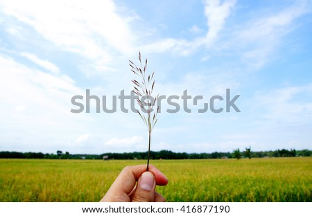 Hold the grass with the background of the garden rice - stock photo