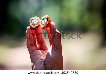 Holding a peel Palm Oil fruit - stock photo