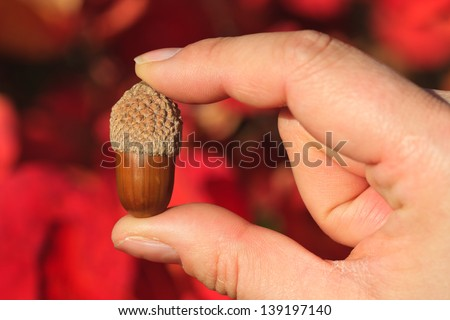 Holding a single acorn in a hand between fingers - stock photo