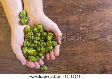 Holding fragile hop cones. Organic raw ingredients for beer production. - stock photo