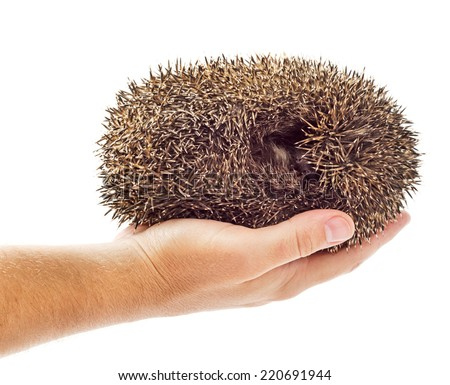 Holding hedgehog rolled in a ball isolated on white background - stock photo