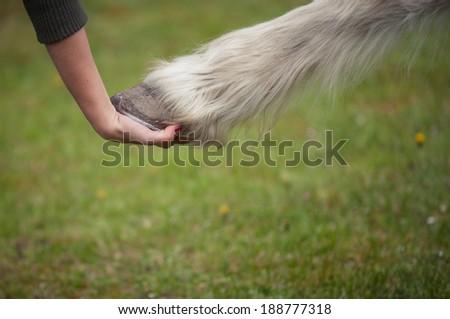 holding hoof of a white horse  - stock photo