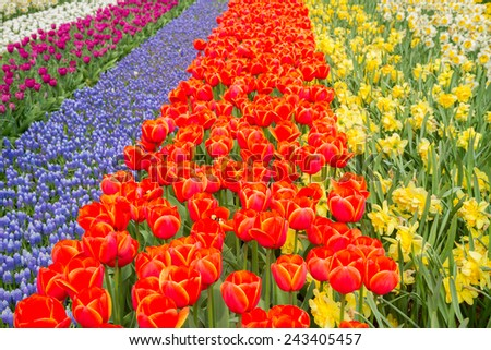 holland tulip, muscari  and daffodil flowers  striped field