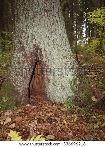 Hollow in the old spruce tree in autumn forest.
