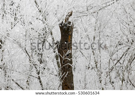 Hollow tree in the winter forest.