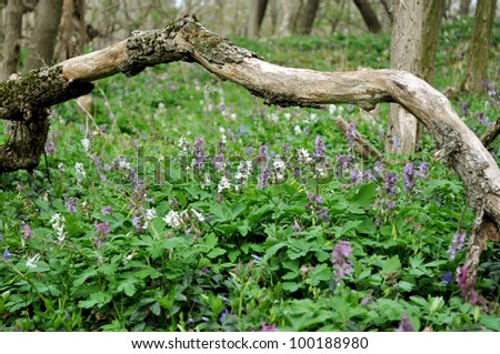 Hollowroot in Austrian forest in spring