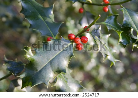 Holly bush and ripe red berries. Nice christmas design background. - stock photo