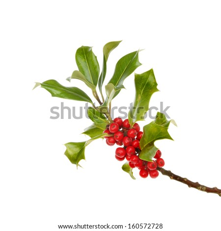 Holly, evergreen foliage and ripe red berries isolated against white