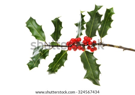 Holly, Ilex aquifolium, leaves and ripe red berries isolated against white - stock photo
