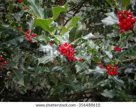 holly plant - stock photo