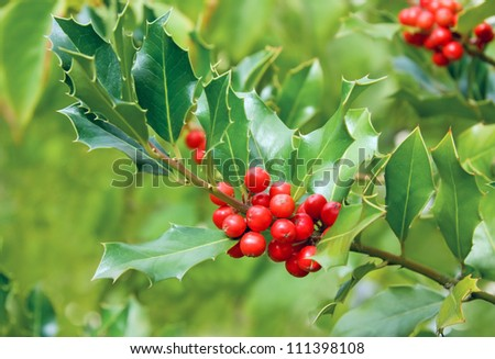 Holly Bush Tree Holly Tree Branch With Red