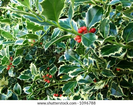 Holly with berries - stock photo