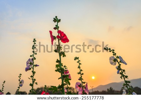hollyhock flower garden with sunset sky - stock photo