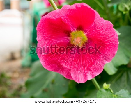 Hollyhock is beautiful