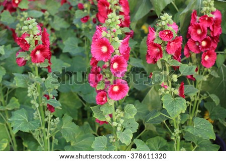 Hollyhock Mallow,  Alcea rosea, Malvaceae, Althaea rosea - stock photo