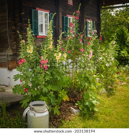 Hollyhock  on the front of wooden house.Austria. - stock photo