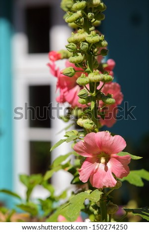 Hollyhock plant in front of an old window/Hollyhock Garden - stock photo