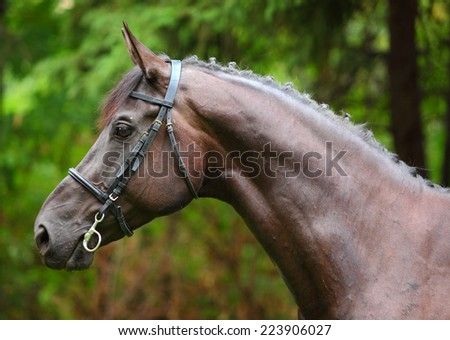 Holstein bay horse portrait in autumn background