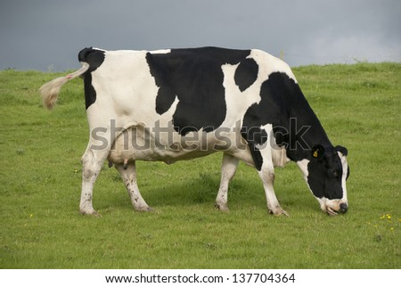 Holstein black and white cows in pasture, Waltshire, UK. - stock photo